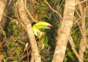 Toucan or tucan in Costa Rica near San Ramon