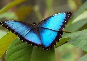big blue costa rica butterfly